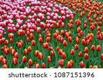 beautiful blooming tulips in... | Shutterstock . vector #1087151396