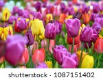 beautiful blooming tulips in... | Shutterstock . vector #1087151402