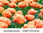 beautiful blooming tulips in... | Shutterstock . vector #1087151432
