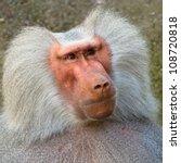 Hamadryas Baboon Closeup...