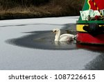 Pair Of Mute Swans In A Frozen...