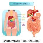 human digestive system medical... | Shutterstock .eps vector #1087280888