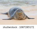 an endangered hawaiian monk... | Shutterstock . vector #1087285172