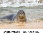 an endangered hawaiian monk... | Shutterstock . vector #1087285202