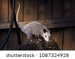 Young  Virginia Opossum ...