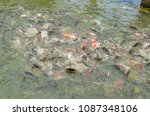 crowd of many different fish... | Shutterstock . vector #1087348106