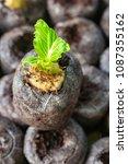 Small photo of En choy (Amaranthus tricolour) seedling mosses pellets