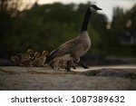 Canadian Goose With Ducklings...