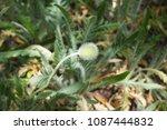poppy bud. unopened bud of... | Shutterstock . vector #1087444832