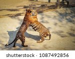 close up two tigers  panthera... | Shutterstock . vector #1087492856