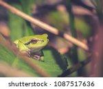 the american green tree frog ... | Shutterstock . vector #1087517636