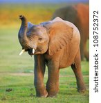 Stock photo baby elephant with raised trunk 108752372