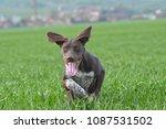 german shorthaired pointer | Shutterstock . vector #1087531502