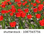 field of red tulips in spring... | Shutterstock . vector #1087565756