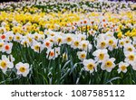field of blooming  daffodils on ...   Shutterstock . vector #1087585112