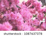 Pink Rhododendron In Bloom...