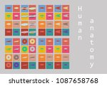types of muscle tissue of human ... | Shutterstock .eps vector #1087658768