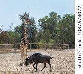 giraffe  giraffa camelopardalis ...   Shutterstock . vector #1087673072