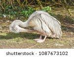 young pelican preening its... | Shutterstock . vector #1087673102
