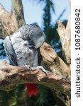 grey parrot or psittacus... | Shutterstock . vector #1087680842