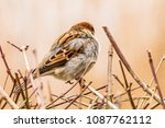 male or female house sparrow or ... | Shutterstock . vector #1087762112