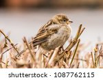 male or female house sparrow or ... | Shutterstock . vector #1087762115
