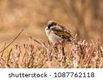 male or female house sparrow or ... | Shutterstock . vector #1087762118