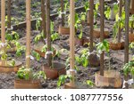 tomato plant growing in soil | Shutterstock . vector #1087777556