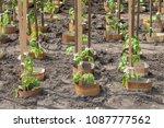 tomato plant growing in soil | Shutterstock . vector #1087777562