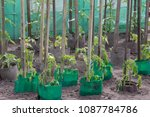 tomato plant growing in soil | Shutterstock . vector #1087784786