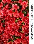 Red Azalea Flowers With Rain...