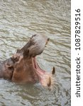Small photo of hippo mouth animal