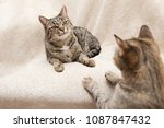 Stock photo the cat is lying on a beige blanket and watching the other cat or two cats watching each other 1087847432