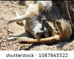 two meerkats playing | Shutterstock . vector #1087865522