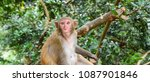 rhesus macaque monkey  | Shutterstock . vector #1087901846