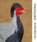 Small photo of Portrait a male Ring-necked Pheasant (Phasianidae) colorful of white, blue and red color on face