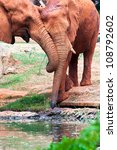 African Elephants Drinking Fro...