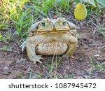 cane toad in nature  uruguaiana ... | Shutterstock . vector #1087945472