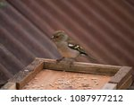 Small photo of Female Chaffinch feeding on sesame seeds on a garden perch in Wales.