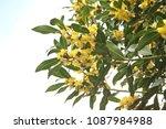 flowering laurus nobilis plant  ... | Shutterstock . vector #1087984988