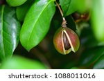 Camellia seeds of japan