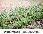 green garlic grow in the ground ... | Shutterstock . vector #1088029988