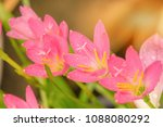 rain drops on pink flowers with ... | Shutterstock . vector #1088080292
