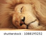 White Lion. Sleeping White Lio...