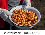 onion sowing for planting in an ... | Shutterstock . vector #1088201132