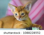 Small photo of Portrait of small beautiful Abyssinian kitten.