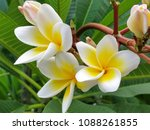 plumeria alba white and yellow  ... | Shutterstock . vector #1088261855
