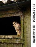 female eurasian kestrel  falco...   Shutterstock . vector #1088269148