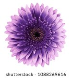 Violet Pink Gerbera Flower On ...