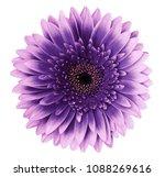 violet pink gerbera flower on a ... | Shutterstock . vector #1088269616